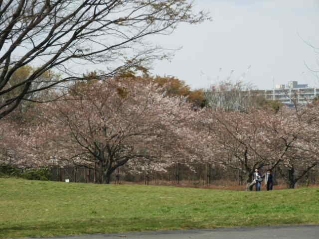 大井ふ頭公園は桜も満開撮影:手束仁