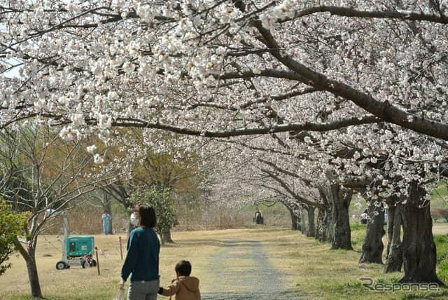間もなく満開の桜。《撮影 井元康一郎》
