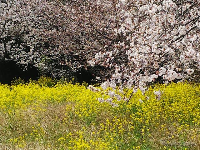 菜の花も美しく咲き乱れる。甘い香りと小虫の羽音が春を感じさせる。《撮影 井元康一郎》